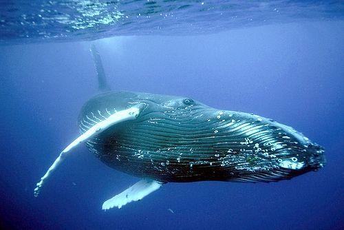 найбільше морська тварина