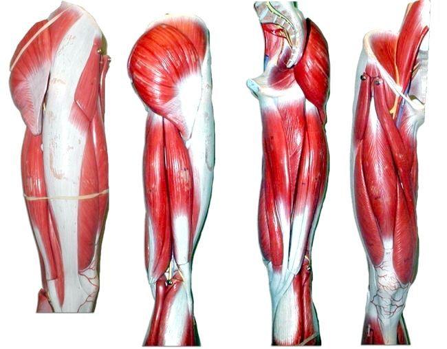 М'язи ніг анатомія