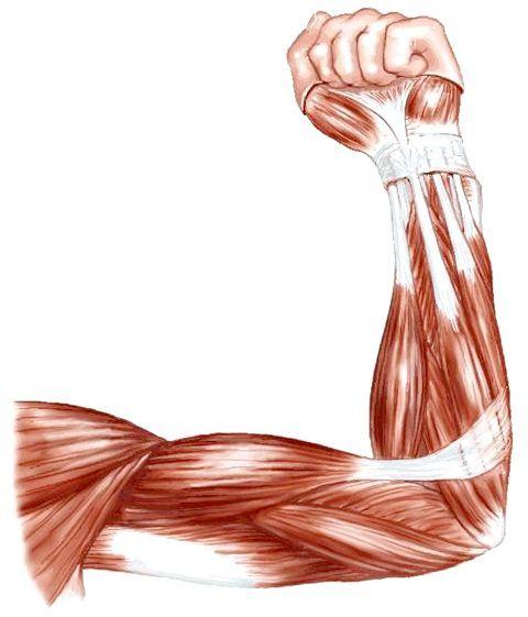 м'язи плечового пояса анатомія