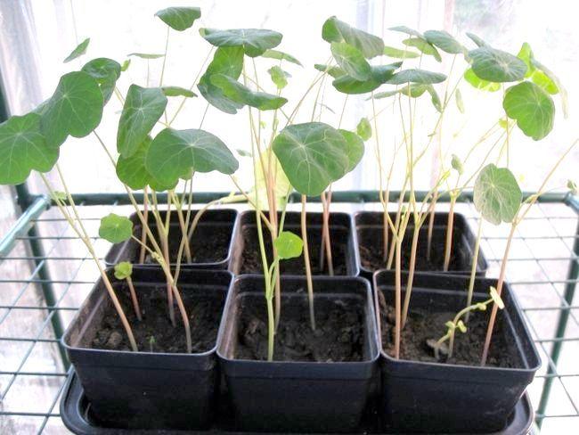 настурція вирощування розсади