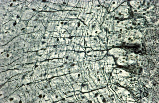 функції нервових тканин