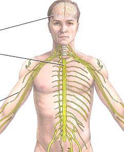 будову нервових тканин