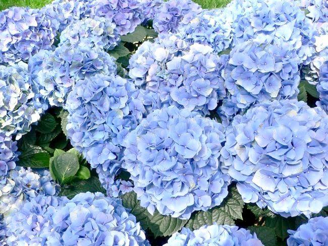 гортензія квіти догляд