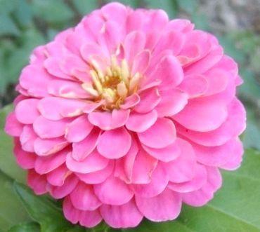 однорічні квіти для саду