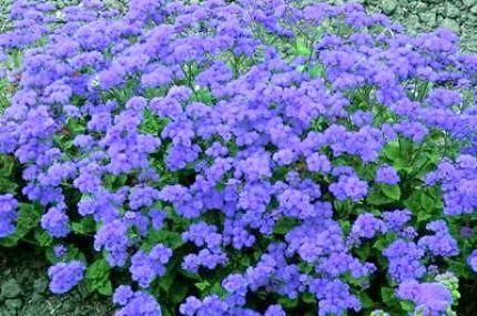однорічні квіти для дачі