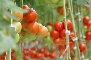 помідори - вирощування в теплиці