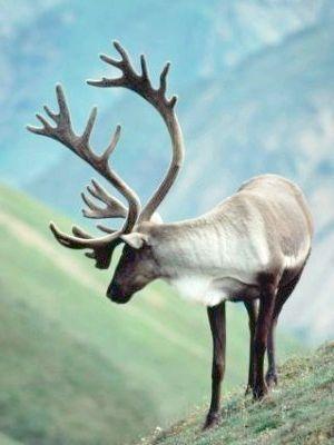 олень північне тварина