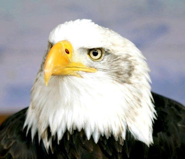 Орел - птах степів