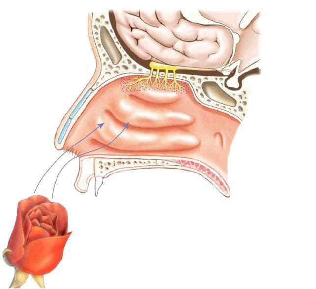 орган нюху ніс