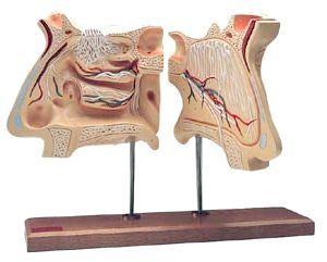 функції органу нюху