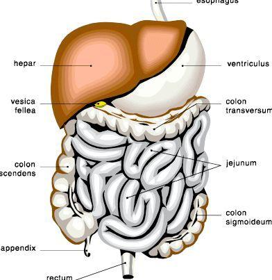 органи травлення