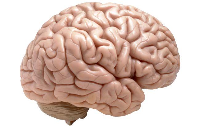 основні відділи головного мозку