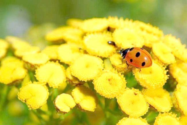 Квітки пижма звичайного