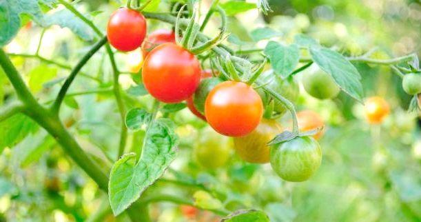 Чому у помідор скручуються листя і як цього уникнути?