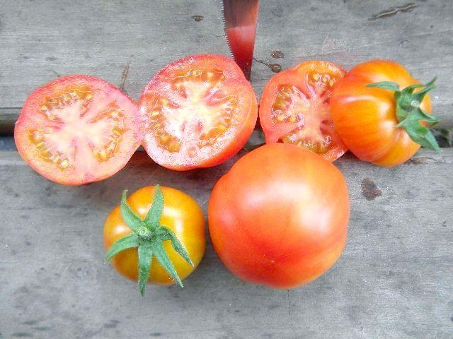 Сорт томата Санька