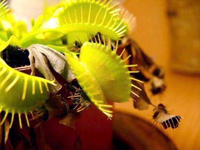 комахоїдні рослини фото