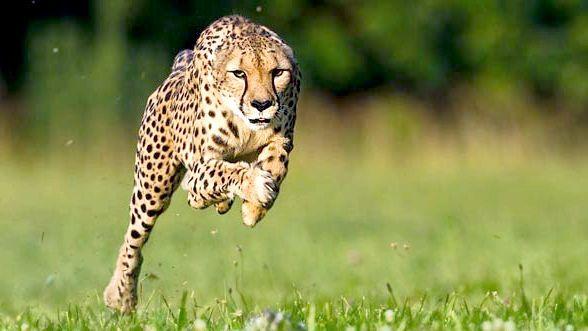 найшвидші тварини