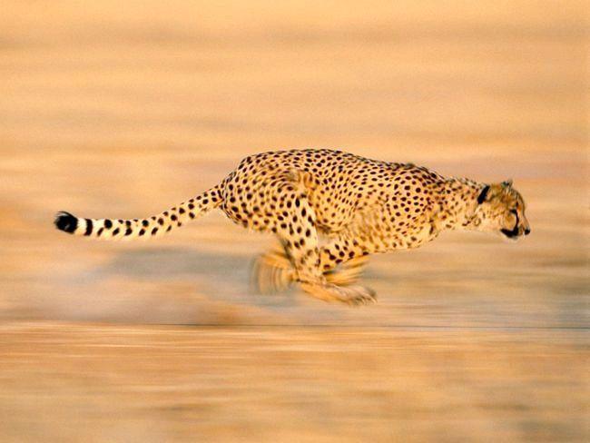 найшвидші тварини планети