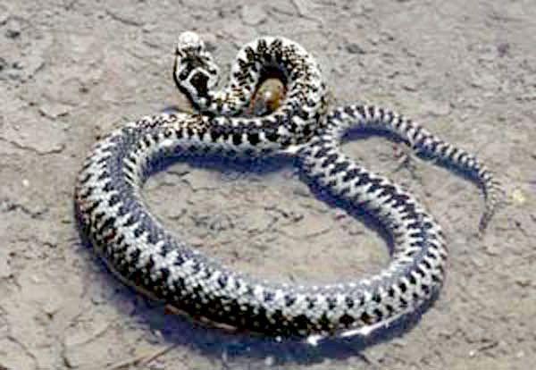 отруйні змії