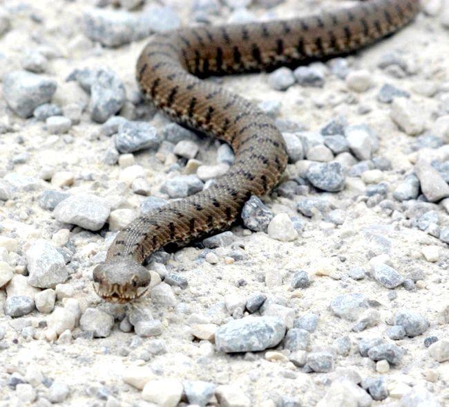 сама отруйна змія