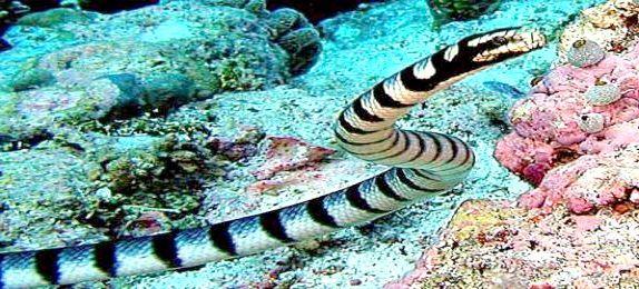 отруйні морські змії