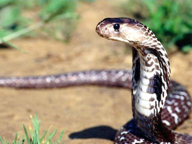 види отруйних змій