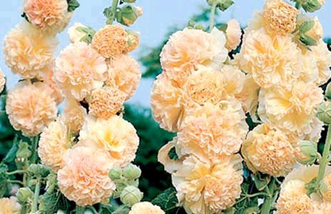 Шток троянда
