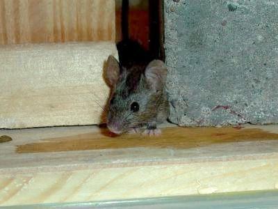 Симптоми мишачої лихоманки і її лікування