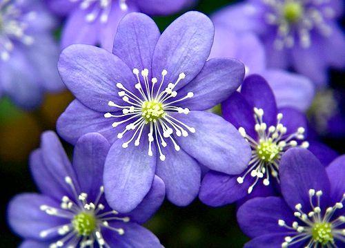 сині квіти