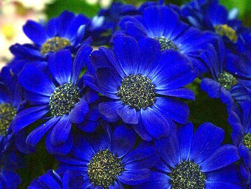 квітка синього кольору