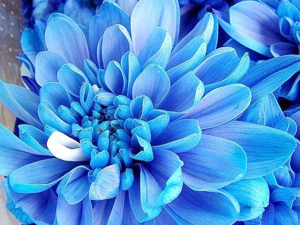 темно сині квіти