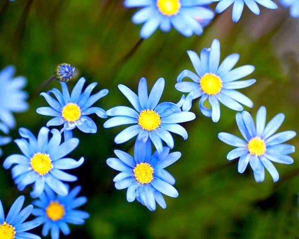 які квіти сині