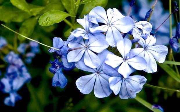 яскраво сині квіти
