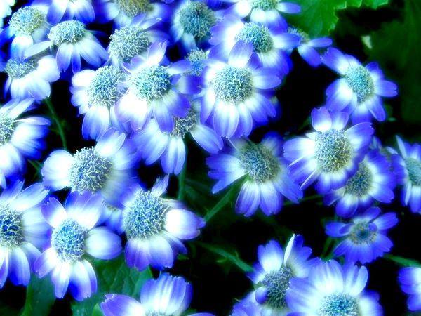 сині квіти що означають