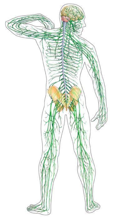 центральна нервова система