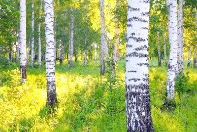 Скільки років живе береза   - російська красуня