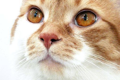 ніж лікувати очі у кішки