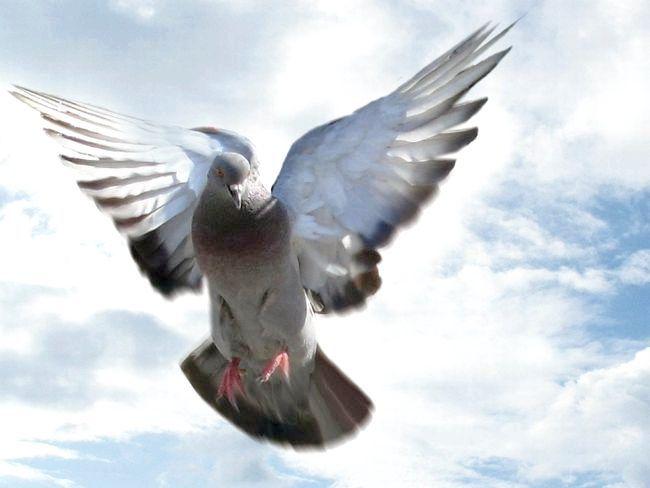 сонник голуб