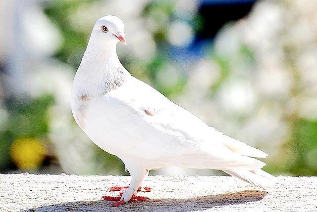 білий голуб сонник