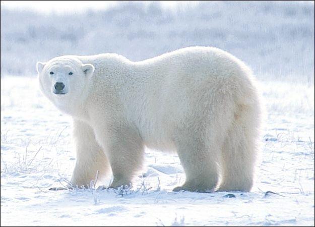 сняться ведмеді