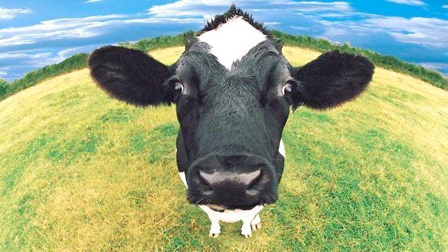 Сонник: корови до чого сняться?
