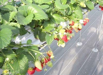 Сорти суниці садової - як вибрати кращий?