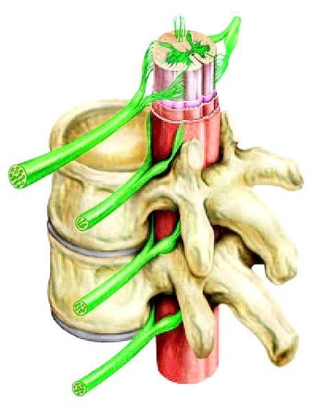 спинний мозок будову і функції