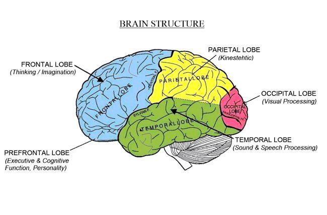 будову головного мозку