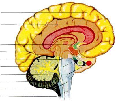 головний мозок будову і функції