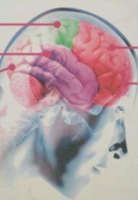 будову головного мозку людини
