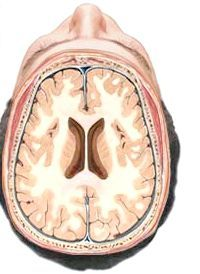 будову відділів головного мозку