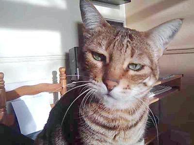 сльозяться очі у шотландській кішки