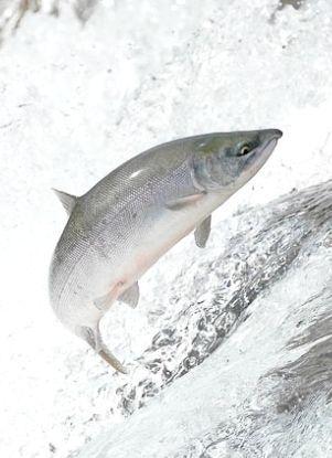Унікальна риба кета