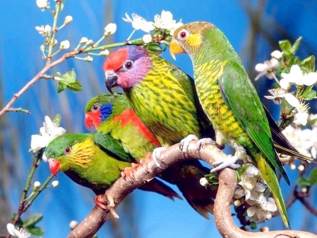 У вашому будинку з'явилися хвилясті папуги. Як визначити стать свого вихованця?